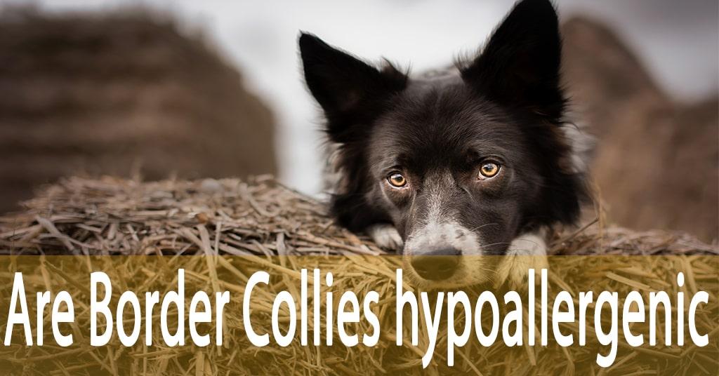 Are Border Collies hypoallergenic